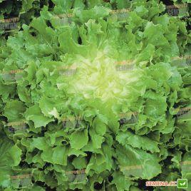Куартана семена салата тип Эндивий зел. (Enza Zaden)
