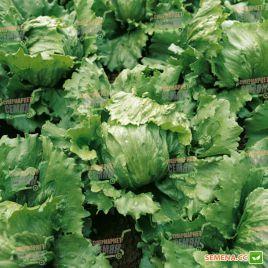 Даймонд семена салата тип Айсберг зел. (Enza Zaden)