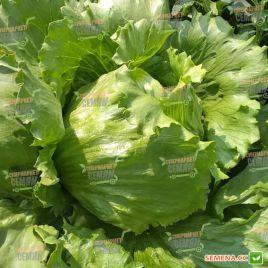 Энсамбл (Энсембл) семена салата тип Айсберг зел. (Enza Zaden)