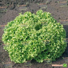 Эстроза семена салата тип Лолло Бионда (Enza Zaden)