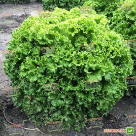 Ілема Organic насіння салату тип Лолло Біонда (Enza Zaden/Vitalis)