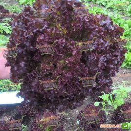 Лея семена салата тип Лолло Росса (Enza Zaden)