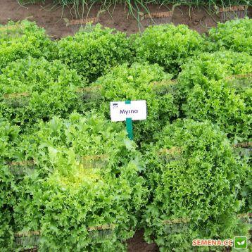 эндивий салат мирна
