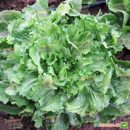 эндивий салат парманс
