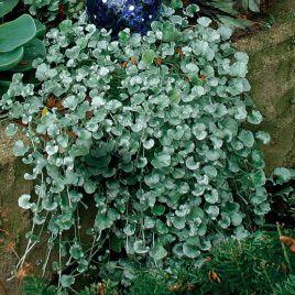 Серебряный водопад семена дихондры (Pan American)