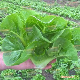 Ксанаду семена салата тип Ромен (Enza Zaden)