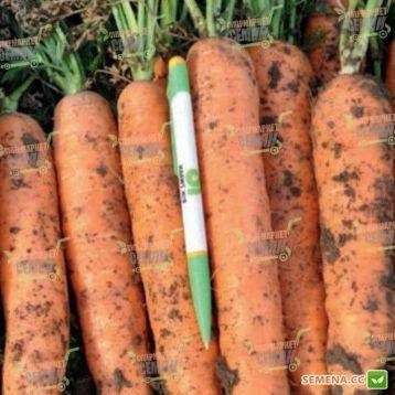Норвалк F1 семена моркови Нантес (2,2 - 2,4 мм) (Bejo)