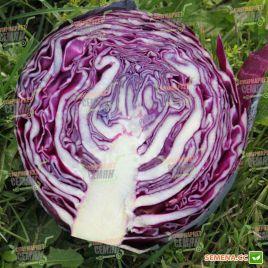 Примьеро F1 семена капусты к/к средней 75-78 дн. 2 кг (Bejo)