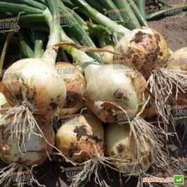 Радар (Normal) семена лука репчатого озимого (Bejo)