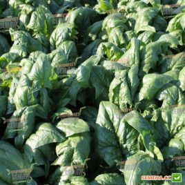 Рембрандт F1 семена шпината (Bejo)