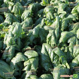 Рембрандт F1 семена шпината среднераннего 58 дн. овал. (Bejo)