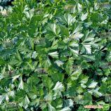 Риалто семена петрушки листовой (Bejo)