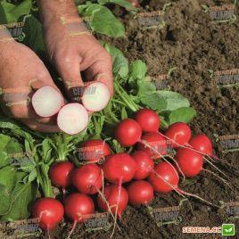 Ровер F1 семена редиса (2,25-2,50 мм) (Bejo)