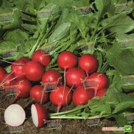 Ровер F1 (2,50-2,75мм) семена редиса 18-25 дн. (Bejo)