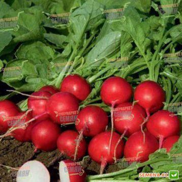 Ровер F1 семена редиса (2,75-3 мм) (Bejo)