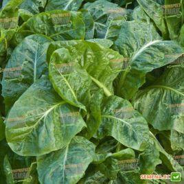 Спирос F1 семена шпината (Bejo)