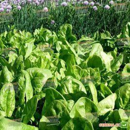 Спирос F1 семена шпината 44 дн. овал. (Bejo)