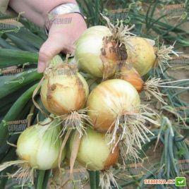Свифт (Precision) семена лука репчатого озимого (Bejo) НЕТ ТОВАРА