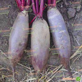 Таунус F1 (PR) семена свеклы столовой 110 дн. цилин. (Bejo)