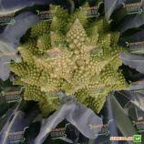 Вероника F1 семена капусты тип Романеско (Bejo)