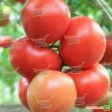 Агіліс насіння томату індет. ультраннього 200-220 гр (Enza Zaden)