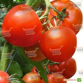 Агилис F1 (Аджилис F1) семена томата индет. ультрараннего окр. 200-220 гр. (Enza Zaden)