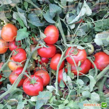 Айваз 331 F1 семена томата дет. ранний 200-220 гр (Enza Zaden)