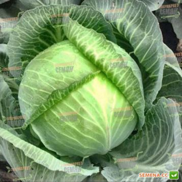 Аланек F1 семена капусты б/к поздней 120-125 дн (Enza Zaden)