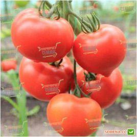 Белфорт F1 семена томата индет (Enza Zaden)