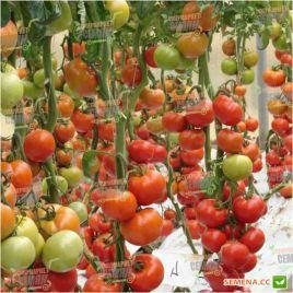 Белле F1 семена томата индет. среднего 110 дн. окр. 180-220 г (Enza Zaden)