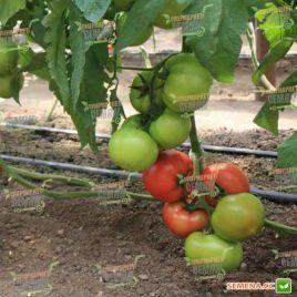 Берберана F1 семена томата индет. раннего 90 дн. окр. 250-280 г (Enza Zaden)