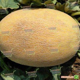 Бизан F1 семена дыни тип Ананас ультраранней 60-65 дн. 3,5-6 кг овал. (Enza Zaden)