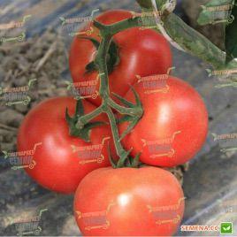 Буран F1 семена томата индет (Enza Zaden)
