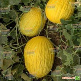 Давут-Бей F1 семена дыни тип Кишлик (Enza Zaden)