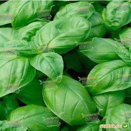 Долли Organic семена базилика зеленого (Enza Zaden/Vitalis)