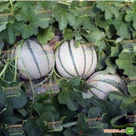 Эминенза F1 семена дыни тип Итальянская сетчатая ранней 1,1-1,5 кг окр. зел./оран. (Enza Zaden)
