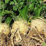 Голиаф семена сельдерея корневого (Enza Zaden)