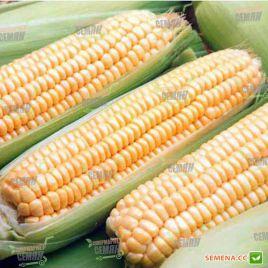Андриа F1 семена кукурузы сладкой SHY средней 95дн 18-20cм 16-18р. (Moravoseed)