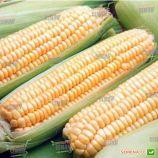 Андріа F1 насіння кукурудзи солодкої (Moravoseed)