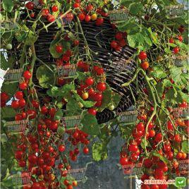 Баяя семена томата дет. черри (Moravoseed)