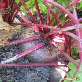 Бона семена свеклы столовой (Moravoseed)