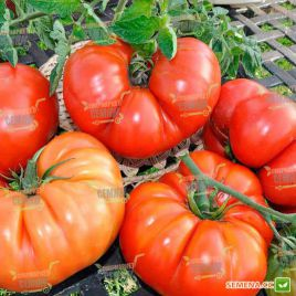 Брутус насіння томату індет. (Moravoseed)