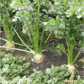 Емна семена сельдерея листового (Moravoseed)