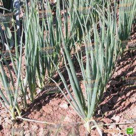 Энтита семена лука на перо раннего 70дн. (Moravoseed)