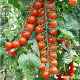 Идил семена томата индет. черри раннего 105-115 дн. окр. 20-30 гр. (Moravoseed)