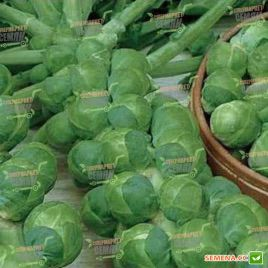 Касио семена капусты брюссельска (Moravoseed)