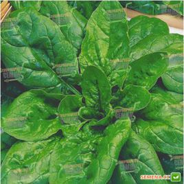 Матадор семена шпината (Moravoseed) НЕТ ТОВАРА