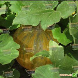 Ольга семена тыквы крупноплодной (Moravoseed)