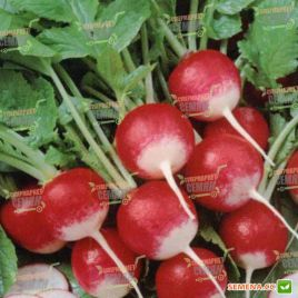Полонеза (Дуо) семена редиса с БК 30-35 дн. (Moravoseed)