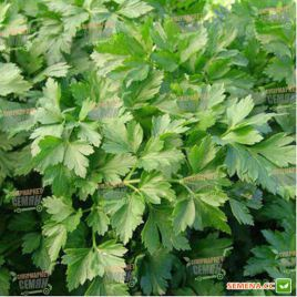 Росава семена петрушки листовой средней 75-85 дн (Moravoseed)